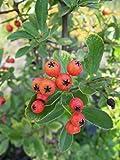 Feuerdorn Red Column 40-60 cm Strauch für Sonne-Halbschatten Heckenpflanze rote Früchte Gartenpflanze winterhart 1 Pflanze im Topf