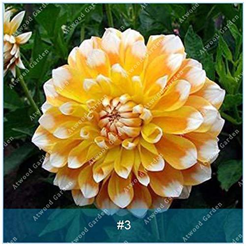Galleria fotografica Fash Lady ZLKING 2 pz Real Dahlia Lampadine Fiore Bonsai Bulbi Da Fiore Non Dahlia Pianta Perenne Bulbo in vaso Radice Per Giardino di Casa: 3