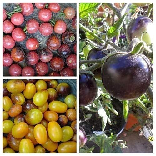 INDIGO SET: Indigo Rose, Cherry Drops, Kumquat, 60 Samen von unserer ungarischen Farm samenfest, nur organische Dünger, KEINE Pesztizide, ECHT NUR von mediterranesamenUngarn
