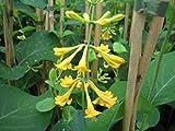 Gold-Geißblatt - Lonicera x brownii - Golden Trumpet - Trompeten-Geißblatt - Kletter-/Schlingpflanze, leuchtend gelbe Blüten, 40-60 cm