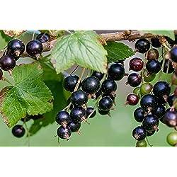 Schwarze Johannisbeere - Ribes nigrum - Hedda - robust, geringe Anfälligkeit für Krankheiten