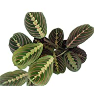 Prayer Plant. Maranta leuconeura Fascinator Tricolour houseplant