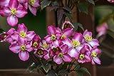 Clematis montana 'Freda' im Topf gewachsen 40-60cm mit zweifarbiger, kräftiger Blüte