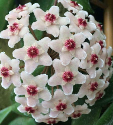 10 x Hoya Carnosa White Seme Fiore di Cera Cespuglio Pianta Giardino Casa B1629