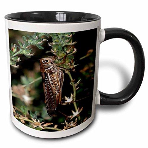 3dRose Close up Foto Eines Locust Grasshopper Winged Insect-Two Ton Becher, Keramik, Schwarz, 10.16cm x 7,62x-Uhr (Grasshopper Uhr)
