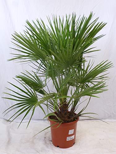 [Palmenlager] Chamaerops humilis - Zwergpalme - 110/130 cm // -12°C Frost - buschige Palme