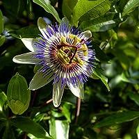 Las semillas de la flor Blue Passion - Passiflora caerulea