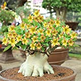 #8: Aiden Gardens Rare 'Swaziland Princess' Sabi Star Gemini Desert Rose Yellow Adenium 1 Healthy Live Plant
