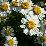 Mutterkraut - Tanacetum parthenium - Falsche Kamille - Fieberkraut - Arznei- + Zierpflanze - 500 Samen