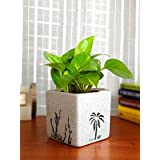 Rolling Nature Good Luck Money Plant in White Square Aroez Ceramic Pot