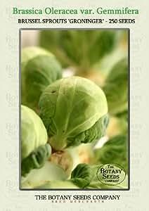 Brassica Oleracea var. Gemmifera 'Groninger' (250) Graines - Choux de Bruxelles 'Groninger' Semences [Brussel Sprouts 'Groninger']