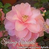 Kamelie 'Spring Festival' - Camellia cuspidata hybride - 5 bis 6-jährige Pflanze