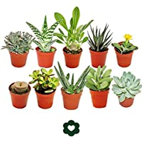 Set of 10 different succulent plants - 5,5cm pot im Set
