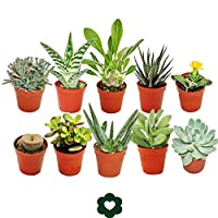 Ten of the most popular succulent plants in a set -Ideal to start your new collection. This set includes 10 different succulents in a 5.5cm pot selected by us.Each cactus is labelled with its name. Unfortunately the varieties cannot be selected by th...