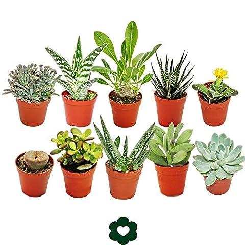 Set of 10 different succulent plants - 5,5cm pot im