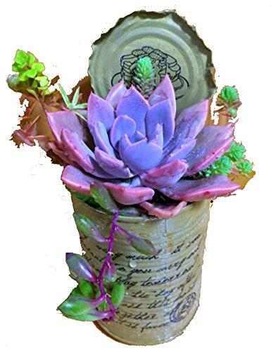 ZEARO 100 pièces Graines de Fleurs de Bijoux Multicolore Graines parfumées Fleurs parfumées succulentes