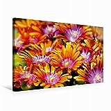 Premium Textil-Leinwand 75 cm x 50 cm quer Delosperma Blüten | Wandbild, Bild auf Keilrahmen, Fertigbild auf echter Leinwand, Leinwanddruck (CALVENDO Natur)