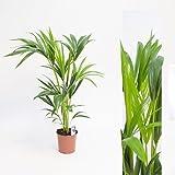 Inter Flower -Howea forsteriana 90cm Delia Palmera Plantas habitación Kentiapalme Habitaciones palma