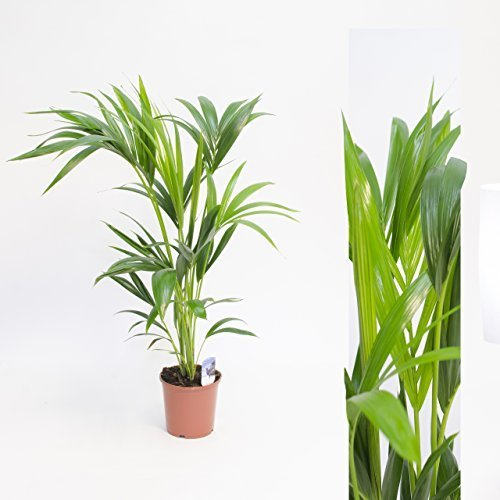 forsteriana 90cm +/- Kentia Palme Zimmerpflanze Kentiapalme Zimmerpalme (Halloween Stand Ins)