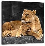 Löwe kuschelt mit seinem Löwenjungen B&W Detail, Format: 70x70 auf Leinwand, XXL riesige Bilder fertig gerahmt mit Keilrahmen, Kunstdruck auf Wandbild mit Rahmen, günstiger als Gemälde oder Ölbild, kein Poster oder Plakat