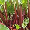 Rhabarber Pflanze 'Holsteiner Blut' - rotstielige Rhabarberstaude von Pflanzen-Kölle im 3 Liter Topf - Rheum rhabarbarum 'Holsteiner Blut' von Kölle bei Du und dein Garten