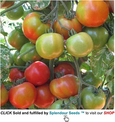 Creative Farmer Seeds Tomato Vegetable Seeds Variety (Red)