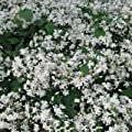 Teppichwaldrebe Clematis ' Mrs. R. Brydon ' ( Clematis heracleif von Lichtnelke Pflanzenversand - Du und dein Garten