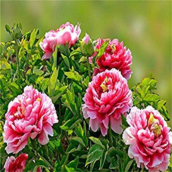 5 pièces / sac graines de pivoine, jaune, graines de fleurs de pivoine rose chinoise belles graines de bonsaï plantes en pot pour le jardin de la maison 6