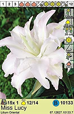 Lilium orientalis - Gefüllte Lilie Miss Lucy duftend 3 Zwiebeln von BULBPLANT bei Du und dein Garten