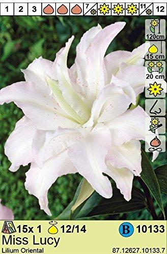 Lilium orientalis - Gefüllte Lilie Miss Lucy duftend 3 Zwiebeln