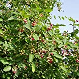 Felsenbirne Edelweiss - Amelanchier 'Edelweiß' - Gartenpflanze