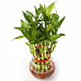 #8: Nurturing Green Lucky Bamboo Two Layer Round Glass Pot