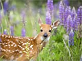 Posterlounge Forex-Platte 130 x 100 cm: United States, Minnesota, White Tailed Deer Odocoileus virginianus, Baby, in a Meadow with lupins. von Age fotostock/Mauritius Images