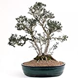Bonsai–Grandes Olea Europea sylv ESTRIS, Wild de oliva, múltiples tronco, hojas...