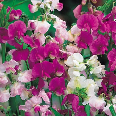 suttons-seeds-133476-everlasting-mix-sweet-pea-seed