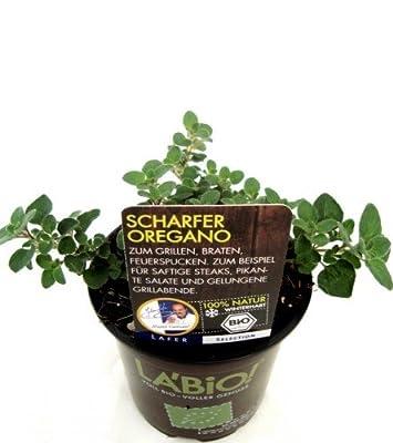 Bio Scharfer Oregano Kräuterpflanze von LÀBiO! Kräuter - Du und dein Garten