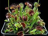 ADB Inc Dionaea Premium Dionaea muscipula dioneia planta semillas