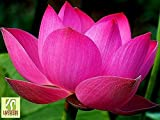 Liveseeds - Nelumbo nucifera Lotus rosa, Pianta acquatica, 5 semi freschi