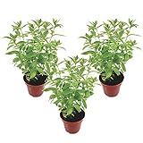 Zitronenverbene (3 Pflanzen) - frische Teepflanzen ideal für Kräutertee | frisch vom Gärtner in TOP-Qualität