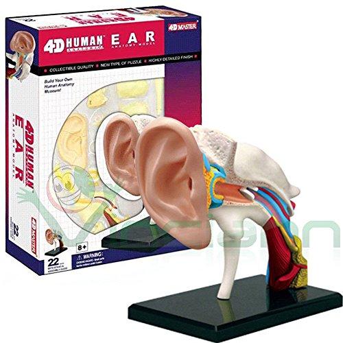 Modellbausatz 4d menschlichen Ohr Kanal Gehörgang Struktur Studio Medizin Anatomie Typ Headset anatomisch bildend