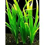 Giant Vallisneria - Vallisneria gigantea - Live Aquarium Plant 4