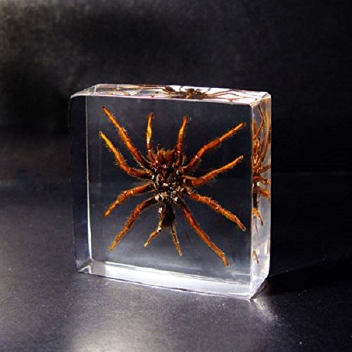 real-insect-paperweight-taxidermy-specimen-tarantula-spider-arachnid-medium