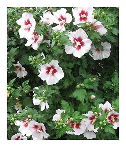 Hibiscus syriacus China Chiffon - Althéa - 20 graines