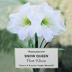 1x Ritterstern Hippeastrum Amaryllis Blumenzwiebel - Snow Queen. Weiße Blüte