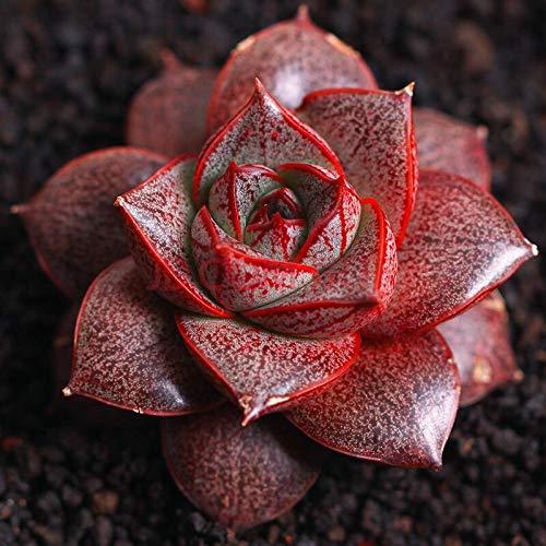 Trendylovers Sukkulenten Samen 30pcs Lithops Pseudotruncatella Samen für Bonsai, Balkon, Haus, Garten(Echeveria Purpusorum) (Samen Echeveria)