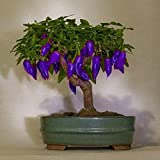 Swiftt 100 Samen/pack Gemüse Samen *Mini-Chili* mit sehr guten Ertrag Lila für Heim & Garten wachsen Lila