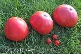 AGROBITS 10 Graines de tomate selten Géant Früchte énorme Erbstück tomatobio