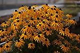Gelber Sonnenhut (Rudbeckia fulgida