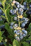 Heidelbeere Bluesbrothers - 3j, sehr grosse, kräftige, robuste Pflanze, im 15 L Topf