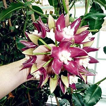 Vistaric 24 colori orchidea palla rara palla orchidea fiore pianta perenne hoya carnosa semi di semi di bonsai pianta in vaso per la casa giardino 100 pz 12
